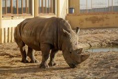 Ένας αφρικανικός ρινόκερος σε έναν ζωολογικό κήπο Στοκ Φωτογραφίες