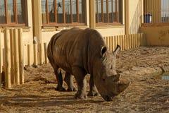 Ένας αφρικανικός ρινόκερος σε έναν ζωολογικό κήπο Στοκ φωτογραφίες με δικαίωμα ελεύθερης χρήσης