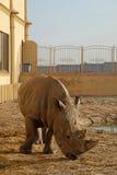 Ένας αφρικανικός ρινόκερος σε έναν ζωολογικό κήπο Στοκ Φωτογραφία