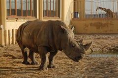 Ένας αφρικανικός ρινόκερος σε έναν ζωολογικό κήπο Στοκ φωτογραφία με δικαίωμα ελεύθερης χρήσης