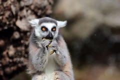 Δαχτυλίδι-παρακολουθημένος κερκοπίθηκος (catta κερκοπιθήκων) που τρώει φρούτα Στοκ εικόνα με δικαίωμα ελεύθερης χρήσης