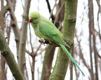 Ένας δαχτυλίδι-necked parakeet, στηργμένος πέρα από ένα δέντρο στοκ εικόνα