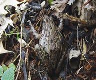 Ένας βάτραχος που εγκαθιστά στο έδαφος στοκ φωτογραφία