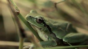 Ένας βάτραχος του πράσινου χρώματος κάθεται στην πράσινη χλόη φιλμ μικρού μήκους