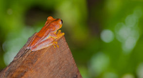 Ένας βάτραχος Hyla Στοκ φωτογραφία με δικαίωμα ελεύθερης χρήσης