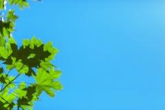 Ένας βεραμάν κλάδος σε ένα υπόβαθρο μπλε ουρανού Οργανικά σκιερά φύλλα Θερινή floral ταπετσαρία Θεαματικό περιβάλλον Στοκ φωτογραφία με δικαίωμα ελεύθερης χρήσης