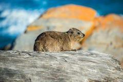 Ένας βράχος Hyrax ή Dassie στο εθνικό πάρκο Tsitsikamma, Νότια Αφρική Στοκ Φωτογραφίες