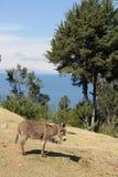 Ένας γάιδαρος στη Isla del Sol στοκ εικόνες με δικαίωμα ελεύθερης χρήσης