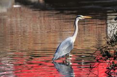 Ένας γκρίζος ερωδιός που αλιεύει σε μια λίμνη Στοκ εικόνα με δικαίωμα ελεύθερης χρήσης