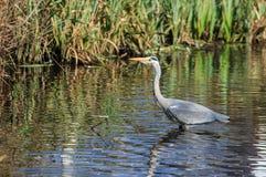 Ένας γκρίζος ερωδιός που αλιεύει σε μια λίμνη Στοκ Εικόνες