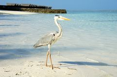 Ένας γκρίζος ερωδιός στην παραλία. Στοκ εικόνες με δικαίωμα ελεύθερης χρήσης