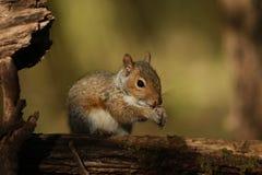 Ένας γκρίζος σκίουρος μωρών (carolinensis Sciurus) Στοκ Φωτογραφία