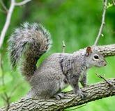Ένας γκρίζος σκίουρος στοκ φωτογραφία με δικαίωμα ελεύθερης χρήσης