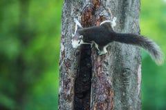 Ένας γκρίζος σκίουρος στοκ εικόνα
