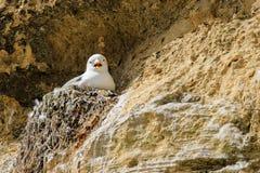 Ένας γλάρος σε μια φωλιά Στοκ Εικόνα