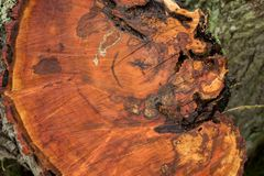 Ένας δίσκος δέντρων με τα ετήσια δαχτυλίδια, χρησιμοποιήσιμα ως σύσταση Στοκ Εικόνες
