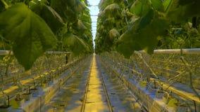 Ένας διάδρομος της ανάπτυξης των αγγουριών στο θερμοκήπιο με hydroponics το σύστημα απόθεμα βίντεο