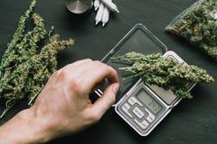 Ένας διακινητής ναρκωτικών ζυγίζει τη μαριχουάνα λουλουδιών καννάβεων σε μια έννοια κλιμάκων το ζιζάνιο χορταριών Στοκ Φωτογραφίες