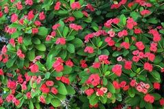 ένας διακοσμητικός θάμνος με τα κόκκινα λουλούδια στοκ φωτογραφίες με δικαίωμα ελεύθερης χρήσης