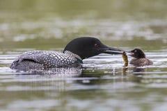 Ένας εβδομάδα-παλαιός κοινός νεοσσός χωριατών ταΐζεται ένα ψάρι από έναν από τους γονείς του Στοκ εικόνα με δικαίωμα ελεύθερης χρήσης