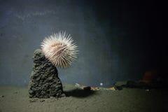 Ένας εδώδιμος αχινός που προσκολλάται σε έναν βράχο σε ένα ενυδρείο στοκ εικόνα με δικαίωμα ελεύθερης χρήσης