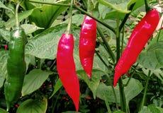 Ένας εισβολέας στα ραντεβού κόκκινων πιπεριών ` s ή τη σημασία του συνυπολογισμού Στοκ Φωτογραφία