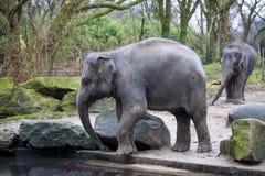 Ένας εκπαιδευμένος ελέφαντας πηγαίνει μετά από μια σκληρή ημέρα στη ζούγκλα Ο ινδικός ελέφαντας εργασίας πηγαίνει στην τρύπα ποτί στοκ φωτογραφία με δικαίωμα ελεύθερης χρήσης