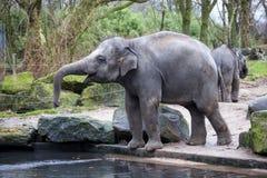 Ένας εκπαιδευμένος ελέφαντας πηγαίνει μετά από μια σκληρή ημέρα στη ζούγκλα Ο ινδικός ελέφαντας εργασίας πηγαίνει στην τρύπα ποτί Στοκ Εικόνα