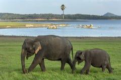 Ένας ελέφαντας και ένας μόσχος βόσκουν δίπλα στη δεξαμενή στο εθνικό πάρκο Minneriya στη Σρι Λάνκα στοκ φωτογραφία με δικαίωμα ελεύθερης χρήσης