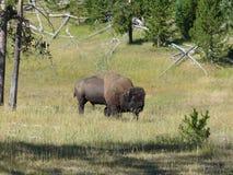 Ένας ελεύθερος βούβαλος στο εθνικό πάρκο Yellowstone Στοκ Εικόνες