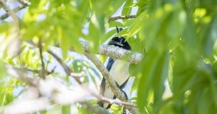 Ένας ενδημικός μαύρος-το colliei του κίσσα-Jay Calocitta κάθεται υψηλό σε ένα δέντρο στο Μεξικό στοκ φωτογραφία με δικαίωμα ελεύθερης χρήσης