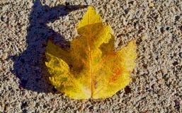 Ένας ενιαίοι κιτρινοπράσινοι σφένδαμνος και μια σκιά Στοκ Εικόνες