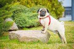 Ένας εντυπωσιακός μαλαγμένος πηλός σκυλιών σε ένα κόκκινο περιλαίμιο στέκεται σε μια πέτρα στην πράσινη χλόη στοκ εικόνες με δικαίωμα ελεύθερης χρήσης