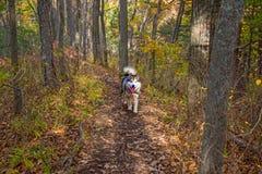 Ένας εξημερωμένος λύκος περπατά μέσω των δασικών, όμορφων τρεξιμάτων κτηνών στη φύση στοκ φωτογραφία