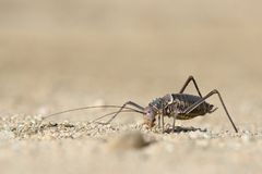 Ένας επίγειος καλυμμένος τεθωρακισμένο γρύλος o r Λεπτομερής εικόνα βρήκε στη νότια Ναμίμπια Μοναδικό να φανεί δείγμα στοκ φωτογραφίες