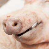 Ένας επικεφαλής ενός χοίρου με ένα τσιγάρο, έννοια «θανατώσεων καπνίσματος» Στοκ φωτογραφίες με δικαίωμα ελεύθερης χρήσης
