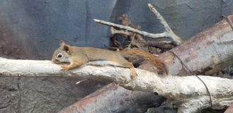 Ένας επιμηκυμένος σκίουρος στοκ εικόνες