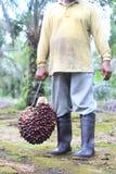 Ένας εργαζόμενος γαντζώνει μια φρέσκια ελαιοφοίνικα στοκ φωτογραφία με δικαίωμα ελεύθερης χρήσης