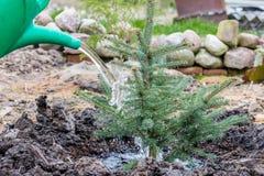 Ένας εργαζόμενος κήπων ποτίζει ένα νέο μπλε κομψό δέντρο Στοκ εικόνες με δικαίωμα ελεύθερης χρήσης