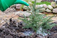 Ένας εργαζόμενος κήπων ποτίζει ένα νέο μπλε κομψό δέντρο Στοκ εικόνα με δικαίωμα ελεύθερης χρήσης