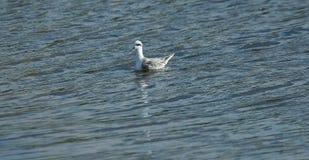 Ένας ερυθρόλαιμος φαλαρόποδας Στοκ Φωτογραφίες