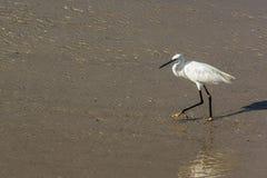 Ένας ερωδιός με έναν μακρύ λαιμό πηγαίνει κατά μήκος της ακτής στοκ φωτογραφία με δικαίωμα ελεύθερης χρήσης