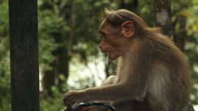 Ένας εύθυμος πίθηκος Rhesis στην Ινδία φιλμ μικρού μήκους