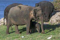 Ένας ελέφαντας και ο μόσχος της που βόσκουν δίπλα στη δεξαμενή & x28 προκαλούμενο από τον άνθρωπο reservoir& x29  στο εθνικό πάρκ στοκ φωτογραφία με δικαίωμα ελεύθερης χρήσης