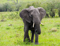 Ένας ελέφαντας που ταΐζει με έναν θάμνο Στοκ Φωτογραφία