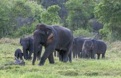 Ένας ελέφαντας ταύρων οδηγεί μια ομάδα ελεφάντων από το bushland στο εθνικό πάρκο Minneriya στοκ φωτογραφίες με δικαίωμα ελεύθερης χρήσης