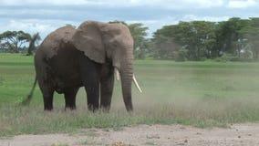 Ένας ελέφαντας ταύρων στις άγρια περιοχές φιλμ μικρού μήκους