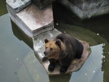 Ένας ζωολογικός κήπος σε Guangzhou, καφετιά συνεδρίαση αρκούδων από το νερό Στοκ Εικόνες