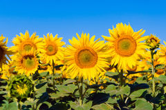 Ένας ηλίανθος eco γεωργίας λουλουδιών εγκαταστάσεων Στοκ Εικόνα