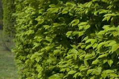 Ένας θάμνος με τα πράσινα φύλλα κλείνει επάνω Τα πράσινα φύλλα κλείνουν επάνω Στοκ Εικόνες